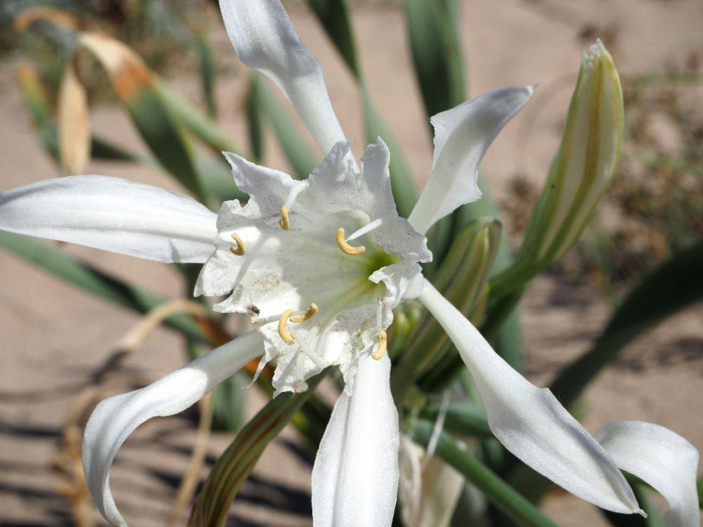 Cestování, prázdniny, blog, Bulharsko, Arkutino, Bulgaria, písečná lilie, sand lily